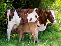 Cow giving milk. Calf drinking milk from a cow in the countryside Royalty Free Stock Photo