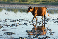 Cow go by swamp. Cow running by morning swamp and it reflection Royalty Free Stock Photography