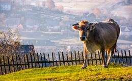 Cow go uphill near the fence on hillside. Lovely rural scenery with village in valley on the background Stock Image