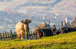 Cow go uphill near the fence on hillside Stock Image