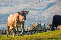 Cow go uphill near the fence on hillside. Lovely rural scenery with village in valley on the background stock photos