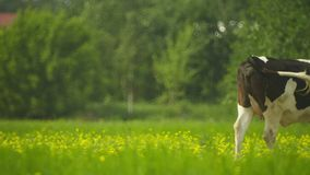 Cow goes through a meadow Stock Photography