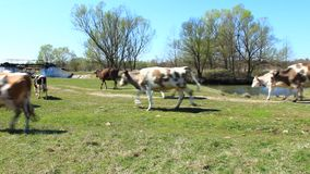 Cow goes in the pasture stock footage