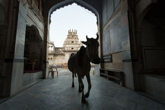 Cow going out from the Hindi Temple Stock Photos
