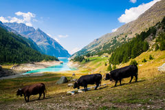 3 cow going to the lake Stock Image