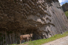 A cow in a gorge of Garni, Armenia Stock Image