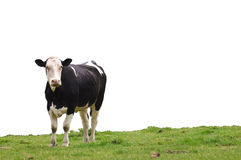 Cow on Grass. An cow standing on lush green grass looking ahead, isolated for ease of use stock photography