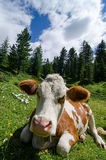 Cow in grass Stock Images