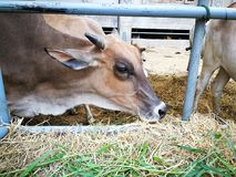 The cow is in the grass. Animal Royalty Free Stock Images