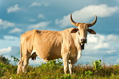 Cow on grass and blue sky with clouds Royalty Free Stock Images