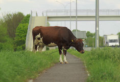 The cow is on the grass with bridge Royalty Free Stock Photography