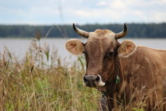 A cow in grass Stock Image