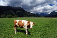 Cow in a grass field Stock Images