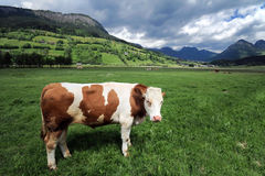 Cow in a grass field Royalty Free Stock Image