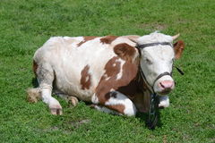 Cow in grass. Healthy female cow lying on green grass Royalty Free Stock Photography