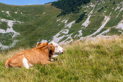 Cow on the grass Stock Image