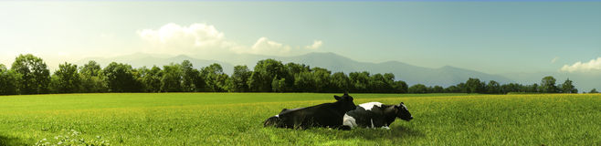 Cow. In the grass in a sunset Royalty Free Stock Image
