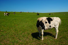 Cow on the grassland Stock Image