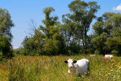 Cow on grassland. Cow on the beautiful grassland Royalty Free Stock Photo