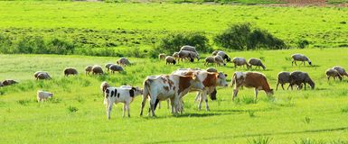 Cow in the grassland Royalty Free Stock Photo