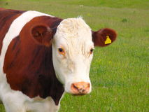 Cow And Grassland stock images