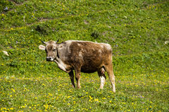 A cow Royalty Free Stock Photography