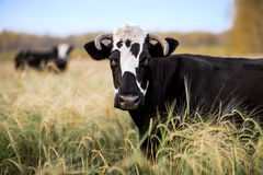 Cow on grassland Royalty Free Stock Images
