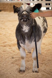 Cow Gray Royalty Free Stock Photography