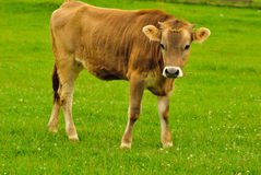 Cow graze Royalty Free Stock Photos