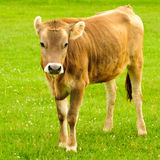 Cow graze Royalty Free Stock Photography