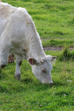 Cow graze Stock Photo