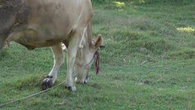 Cow Graze stock video footage