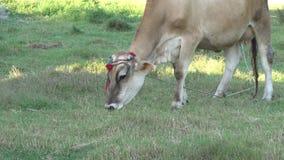 Cow Graze stock video