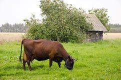 Cow graze meadow abandoned building apple tree. Stock Photos