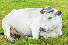 Cow graze in the meadow near Stock Images