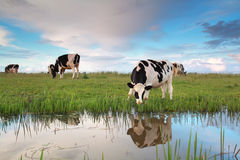 Cow graze on pasture by river Royalty Free Stock Photography