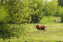 The cow is grazed on a green field. Royalty Free Stock Image