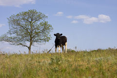 The cow is grazed on a meadow Stock Photography