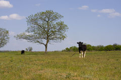 Cow is grazed on a meadow Stock Photos