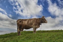 Cow is grazed on a mountain pasture Stock Photos