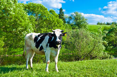 Cow grazes Stock Images
