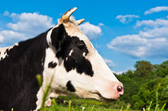Cow grazes Royalty Free Stock Image
