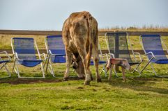 A cow grazes by deckchairs in the summer. A cow grazes by empty deckchairs in the summer at the top of a mountain royalty free stock photo