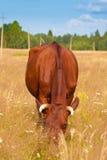 A cow grazes in a field Stock Photo