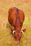A cow grazes in a field stock images