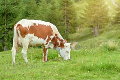 Cow grazes in a forest glade and eats fresh green grass royalty free stock photography