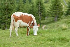 Cow grazes in a forest glade and eats fresh green grass stock image