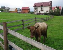 The cow grazes on the grassland at the in mountain husbandry farm. Dairy cow looks over corral fence on the home pasture at the mountain village stock photography
