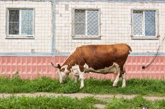 Cow grazes on a green lawn next to a multi-storey house in the city.  stock image