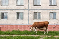 Cow grazes on a green lawn next to a multi-storey house in the city.  stock photo